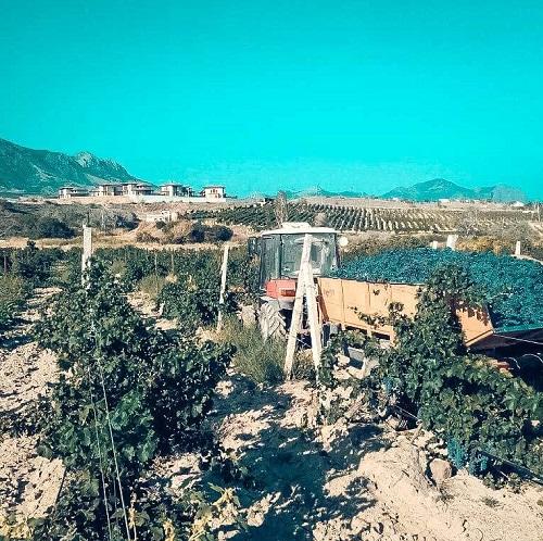 Виноградники в Солнечной долине - Крым